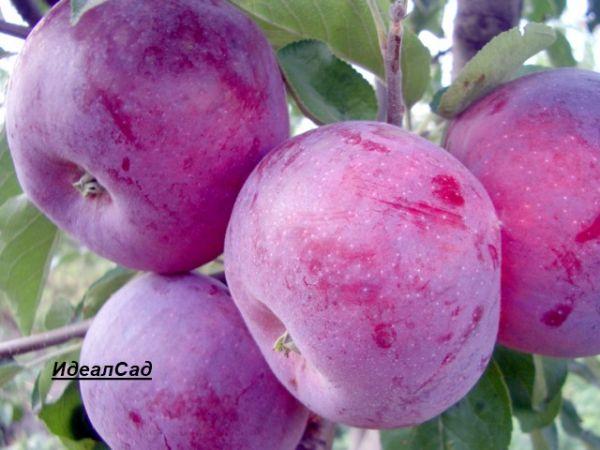 яблони лобо фото
